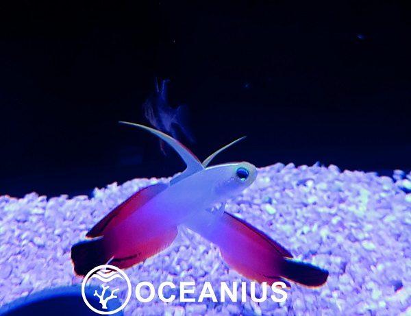 oceanius-magnifica